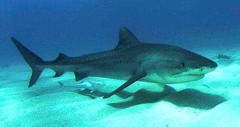 Requin tigre 2