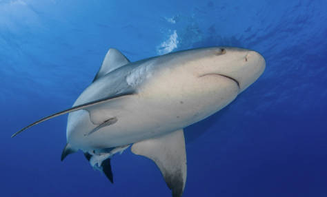 requin bulldog