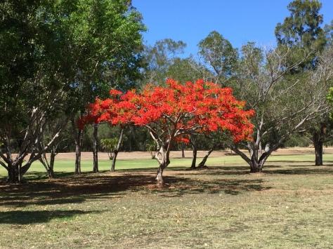 Pour les Calédoniens, flamboyants = grandes vacances